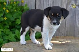 australian shepherd mix puppies for sale a meal for the birthday dog julep u0027s first birthday with the
