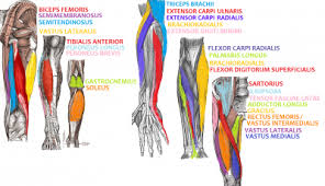Anatomy And Physiology Muscle Labeling Exercises Anatomy And Physiology Science Olympiad Student Center Wiki