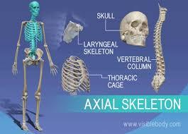 Human Anatomy Skeleton Diagram Overview Of Axial Skeleton Skull Vertebrae Larynx And Thorax