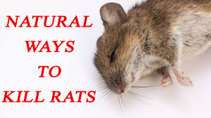 14 ways to kill rats naturally boldsky com
