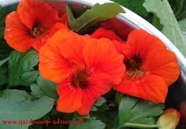 nasturtium flowers growing nasturtiums for their colorful flowers and as a culinary herb