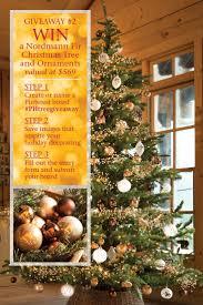 100 nordmann fir christmas tree seedlings bh nordmann fir