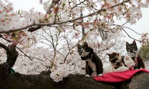 cats sit on a branch of a cherry tree as cherry blossoms are in