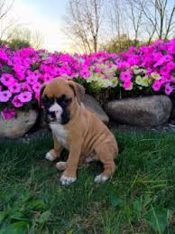 boxer dog breeders near me puppies for sale buckeye puppies