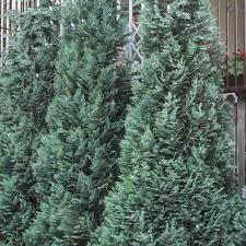 chamaecyparis lawsoniana alumii buy lawsons cypress blue conifer