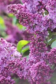 best 25 lilac bushes for sale ideas on pinterest dwarf