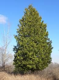 cedar tree symbols