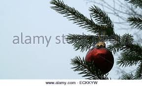 frosted pine tree branch stock photo royalty free image