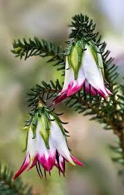 wheel shaped flower buds of stenocarpus sinuatus queensland 606 best flowers images on pinterest