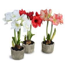 40 most beautiful amaryllis flowers images white amaryllis