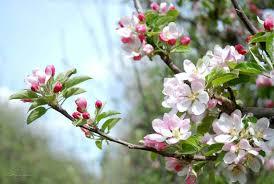 apple blossom inspiration