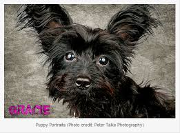 yorkie poo haircut beautiful yorkie poo face