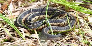 identify pest snake infestations and snake problems