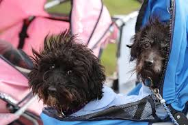 affenpinscher india crufts 2017 photos of pooches and their owners arriving at