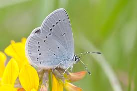 uk butterflies small blue cupido minimus