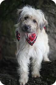 afghan hound rescue north carolina afaird afghan hound briard mix love ocd dogs mixed breeds