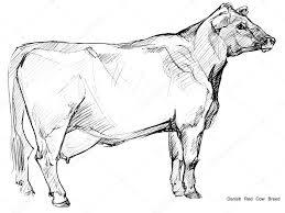 cow cow sketch dairy cow pencil sketch animal farm danish red