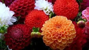dahlias flowers wallpaper 1920x1080 dahlias flowers bouquet bright