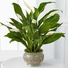send plants as gifts delivered to your doorstep by ftd