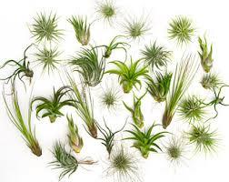 large air plant terrarium plants tillandsia espinosae air