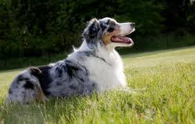 australian shepherd quirks can science improve man u0027s best friend sciencedaily