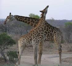 find africa u0027s giraffes wildlife safari holidays packages