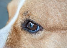 degeneration of the iris in the eye in dogs petmd