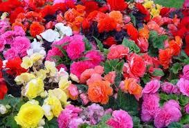 begonia flower buy begonia non stop mixed 48 plants online unwins