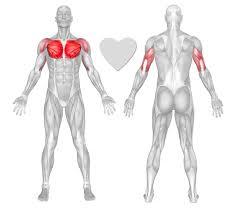 pectoralis major exercises u0026 workouts freetrainers com