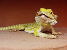 Seeking Lizard Cast The Best Reptile Pets For Beginners
