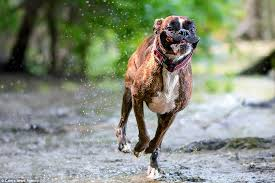 boxer dog 9 years old photographer captures his boxer dog u0027s hilarious range of