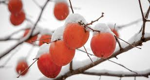 the persimmon lady shares her predictions for winter 2016 17
