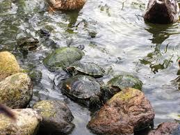 backyard turtle pond design u2014 indoor outdoor homes how to make