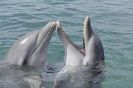 two bottlenose dolphins play in a lake in honduras animals in