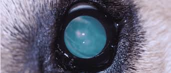 Cataract Leads To Blindness Due To Cataracts In Dogs Causes Signs And Treatment Dr Elliot Pet