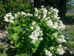 mn native plants ceanothus americanus morning sky greenery