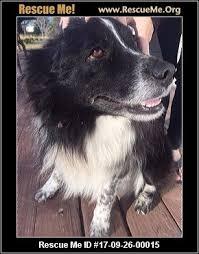 rescue an australian shepherd puppy tennessee australian shepherd rescue u2015 adoptions u2015 rescueme org