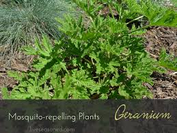 plants that keep mosquitoes away mosquito repelling plants