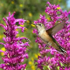 agastache plants hummingbird mint hyssop high country gardens