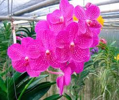 vanda orchid crops seeds plants vanda orchid