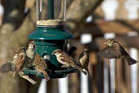 get rid of woodpeckers without hurting birds