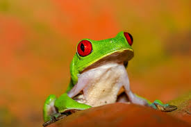 eyed tree frogs