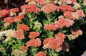 autumn joy stonecrop flowers sedum plants for fall
