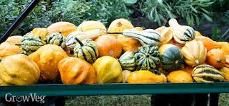 how to harvest and cure ornamental gourds