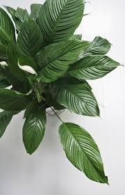 The Best Indoor Plants 25 Best Peace Lily Ideas On Pinterest Best Indoor Plants