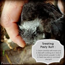 Caring For Backyard Chickens by Caring For Baby Chicks With Pasty Butt Countryside Network