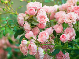 native hedging plants uk how to plant bare root roses trees and hedging saga