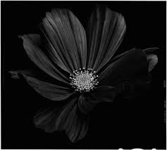 black flower black flowers black to black flowers 4 fubiz media black flowers