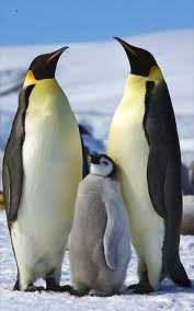 emperor penguin facts lesson for kids study com