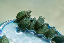 imagenes tortugas verdes pequeñas tortugas verdes en un buque imagen de archivo imagen de